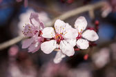 Beautiful spring cherry blossom — Stock Photo