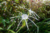 White spider lily — Stock Photo