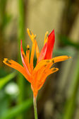 Orange strelitzia flower — Stock Photo