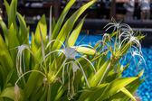 White spider lily — Stock Photo