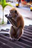 Macaque monkey eating fruit — Stockfoto