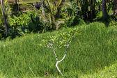 Lush green terraced farmland — Stock Photo