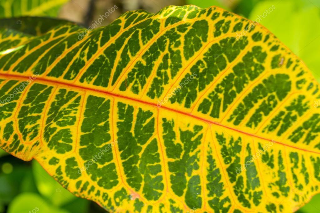 Hoja de croton colores amarillo y verde foto de stock - Color verde hoja ...
