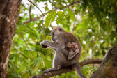 Macaque monkey eating fruit — Стоковое фото