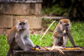 Monkeys sitting eating fruit — Stock fotografie
