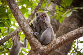 Macaque monkey eating fruit — Stok fotoğraf