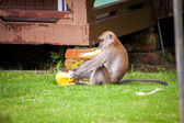 Monkey sitting eating fruit — Stock fotografie