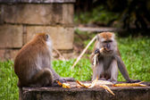 Monkeys sitting eating fruit — Photo