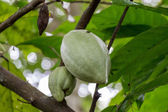 Ripe fruit plant on tree — Stok fotoğraf