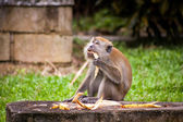 Monkey sitting eating fruit — Stok fotoğraf