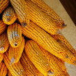 Golden colored dry ecological Corn harvest — Stock Photo