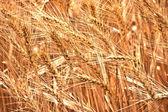 Pianta di grano dorato fattoria ecologica — Foto Stock