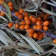 Stock Photo: Sebuckthorn branch with leaves
