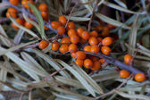 Sea buckthorn branch with leaves — Stock Photo