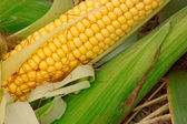 Fresh yellow corn with green leaves — Stock Photo