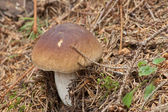 Young boletus edulis in the woods — Stock Photo