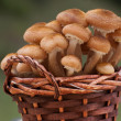 Armillaria mellea collected in a basket — Stock Photo