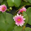 Rose lily flower in the pond - Stock Photo