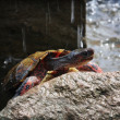 Rainforest Red Turtle — Stockfoto