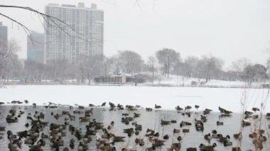 City Ducks — Stock Video