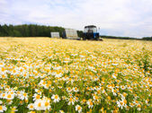 Field of colorful daisy with out of focus farm tractor in the background — Stock Photo
