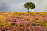 Purple heather and single tree on the Quantock Hills — Stock Photo