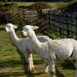 Two Alpacas in a field. — Stock fotografie