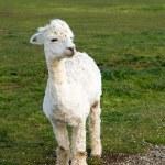 Cute white Alpaca — Stock Photo #13371927