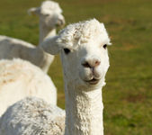 Alpaca portrait — Stock Photo