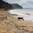 Black labrador on Charmouth beach in Dorset — Stock Photo