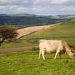 Cow grazing in Dorset countryside — Stock Photo #13388831