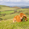 Cow grazing in Dorset countryside — Stock Photo #13388857