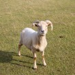 Portland Sheep from Dorset England - Stock Photo