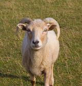 Portland Sheep from the Isle of Portland England — Stock Photo