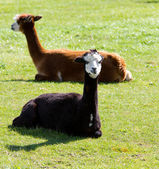 Alpacas in a field — Stock Photo
