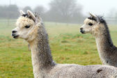 Dvojice z alpaky — Stock fotografie