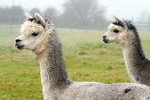 Par de alpacas — Fotografia Stock