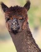 Chocolade alpaca — Stockfoto