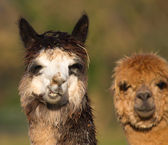 Two Alpacas in portrait — Stock Photo