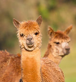 Female Alpaca like llama — Stock Photo