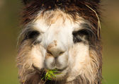 Female Alpaca portrait during grass lunch — Stock Photo