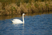 Swan swimming on river — Stock Photo