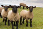 Sheep with black face and legs — Stock Photo