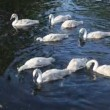 Baby swans feeding — Stok Video #26783201