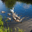 Mother swan with baby cygnets on the river — Stock Photo
