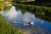 Graceful Swan swimming down the centre of the river in Somerset England near Taunton — Stock Photo