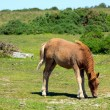 Dartmoor Pony Devon in the National Park — Stock Photo