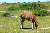 Devon de pônei de dartmoor no parque nacional — Foto Stock