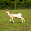 Albino deer — Stock Photo