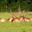 Red deer lying down — Stock Photo
